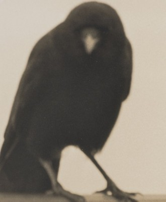 Crow. © Jane Olin. All Rights Reserved.